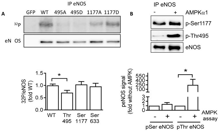 <t>Endothelial</t> nitric-oxide synthase (eNOS) is a substrate of AMPK in vitro. ( A ) Wild-type eNOS, as well as Thr495 and Ser1177 mutants, was overexpressed in HEK293 <t>cells,</t> then immunoprecipitated and used as substrate for AMPKα1 in in vitro kinase assays. The upper panel shows the autoradiograph of eNOS proteins. The lower panel shows the Western blot of the immunoprecipitated (IP) eNOS protein used as input. The graph summarizes the data from four independent experiments. ( B ) Wild-type eNOS (Flag-tagged) overexpressed in <t>human</t> <t>umbilical</t> <t>vein</t> endothelial cells was immunoprecipitated and used as a substrate for AMPKα1. Phosphorylation was assessed using specific antibodies for phosphorylated Ser1177 (p-Ser1177) and Thr945 eNOS (p-Thr495). The graph summarizes the data from five independent kinase reactions. * p