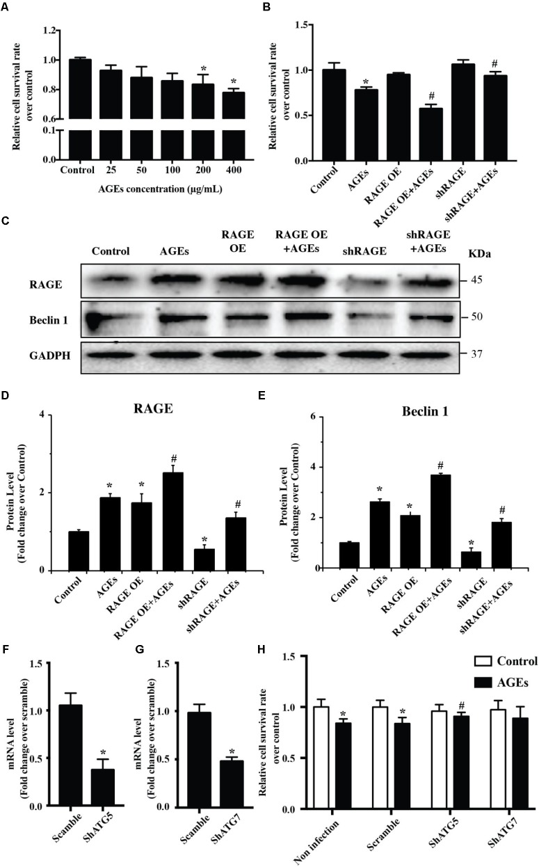 The AGE-RAGE pathway triggers autophagic death of cardiomyocytes. (A) Viability of NRVMs was assessed by the CCK8 assay after treatment with various concentrations of AGE. (B) Cell viability measured by the CCK8 assay after AGE treatment (400 μg/ml) in NRVMs with RAGE overexpression or knockdown. (C) Expression of RAGE and Beclin 1 were detected by western blotting after AGE treatment of NRVMs with RAGE overexpression or knockdown. Representative figures are from different blots in Supplementary Figure S1 . (D,E) Quantitative analysis of RAGE and Beclin 1 protein levels. (F,G) NRVMs were infected with short hairpin <t>RNA</t> (shRNA) targeting ATG5, ATG7, or the scramble control. Expression of ATG5 and ATG7 was detected by <t>q-RT-PCR.</t> (H) Knockdown of ATG5 reduced the AGE-induced death of NRVMs. n = 3. Data are the mean ± SE., ∗ P