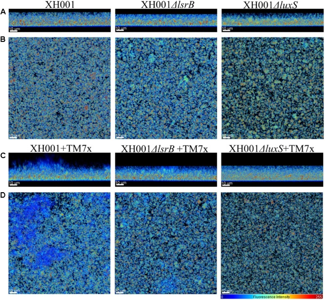 """Representative 3D reconstructions of biofilms. Biofilms of wild type TM7x associated XH001, XH001Δ lsrB , and XH001Δ luxS monoculture as well as co-culture when they were associated with TM7x were grown (biological triplicate) as described in the Section """"Materials and Methods."""" Images were obtained by CLSM and reconstructed using Bitplane: Imaris-Microscopy Image Analysis Software (Bitplane). Reconstructed images led to a view of the same biofilms revealing a significant increase in overall <t>biofilm</t> thickness (height) in the TM7x-associated XH001 relative to XH001. (A,C) and (B,D) represent sagittal (xz) and horizontal (xy) projected images, respectively. The relative fluorescence intensity of the pseudo-colored images is reflected by the scale located in the lower right corner. All scale bars are 10 μm in length."""