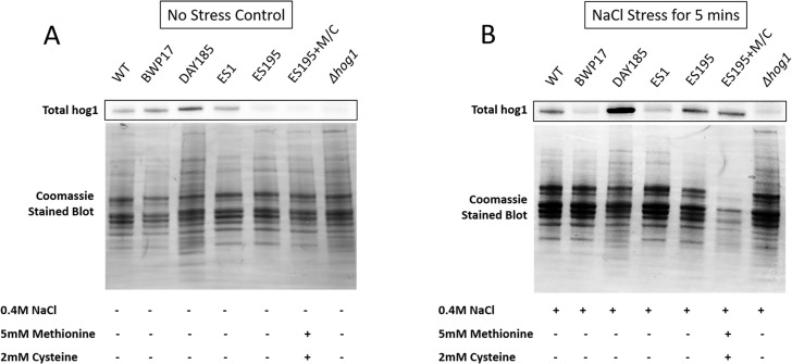 DFG5 and DCW1 are required for basal Hog1 levels. Western blot analysis was performed using anti-Hog1 antibody to detect whole Hog1 (non-phosphorylated) under (A) non-stress and (B) osmotic stress conditions.