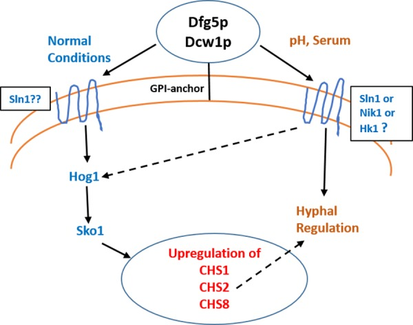 Dfg5p and Dcw1 functional role in regulating hyphal morphogenesis and HOG MAPK pathway. The ligands and downstream components involved in DFG5/DCW1 dependent hyphal regulation and Hog1 signaling as well as the cell wall protein substrates for Dfg5p and Dcw1p are to be determined.
