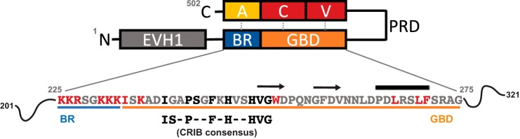 Domain architecture of <t>WASP.</t> Structural domains and regions with assigned function of WASP are highlighted as follows: the Ena/VASP homology domain 1 ( EVH1, gray ); the basic region ( BR, blue ); the G protein-binding domain ( <t>GBD,</t> orange ); the central proline-rich domain ( PRD ); the verprolin homology ( V, red ); central ( C, red ); and acidic region ( A, yellow ). WASP exists in an autoinhibited conformation when not bound by effectors, and the BR and A regions and the CV and GBD regions form contacts that prevent the VCA region binding and activating Arp2/3. Only WASP residues 225–275, which include the BR and residues of the GBD mutated in this study, are expanded to show their sequence below , and the residues selected for mutagenesis are highlighted . Residues colored black are CRIB consensus residues, which were all subject to mutation in this study; residues outside the CRIB region mutated in this work are colored red. The CRIB consensus sequence is also included. Secondary structure elements in WASP when bound to Cdc42 are shown above the sequence. β-Strands are denoted by arrows and the helix by a cylinder . The limits of the secondary structure elements are taken from Ref. 14 with amendments included from Ref. 29 . The accession number for WASP is UniProt no. P42768.