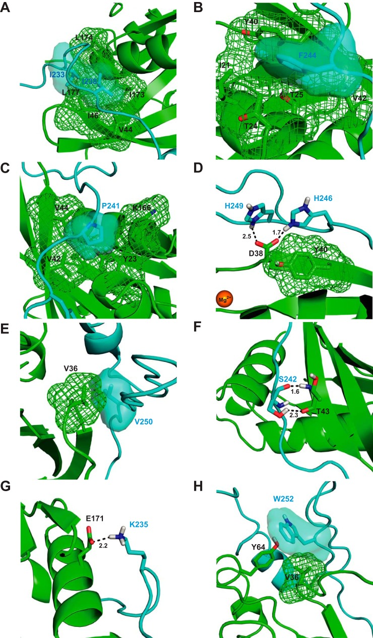 Structural analysis of mutational effects. A, schematic representation of part of the Cdc42/WASP–GBD structure (Ref. 14 and PDB 1CEE ) showing the contacts made by Ile-233 and Ile-238 WASP . The van der Waals surfaces of relevant residues are shown either as a mesh or a semi-transparent surface (using the PyMOL default solvent radius of 1.4 Å). Cdc42 is colored green , and WASP is colored blue. B , schematic representation of part of the Cdc42/WASP–GBD structure showing the contacts made by Phe-244 WASP . Coloring is as in A. C, schematic representation of part of the Cdc42/WASP–GBD structure showing the contacts made by Pro-241 WASP . Coloring is as in A. D , schematic representation of part of the Cdc42/WASP–GBD structure showing the contacts made by His-246 WASP and His-249 WASP . Coloring is as in A. E, schematic representation of part of the Cdc42/WASP–GBD structure showing the contacts made by Val-250 WASP . Coloring is as in A. F, schematic representation of part of the Cdc42/WASP–GBD structure showing the contacts made by Ser-242 WASP . Coloring is as in A. G, schematic representation of part of the Cdc42/WASP–GBD structure showing the contacts made by Lys-235 WASP . Coloring is as in A. H, schematic representation of part of the Cdc42/WASP–GBD structure showing the contacts made by Trp-252 WASP . Coloring is as in A . Where highlighted, oxygen atoms are colored red and nitrogen in blue . Magnesium is shown as an orange sphere .