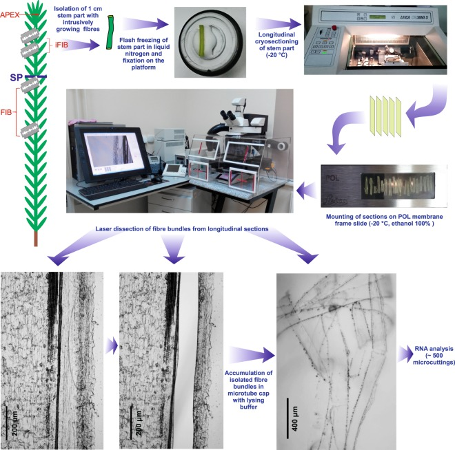 Scheme of plant material collection to obtain APEX, iFIB, FIB samples for subsequent RNA-Seq analysis. Bundles of the intrusively growing fibers (sample iFIB) were isolated by laser microdissection from the longitudinal cryosections of 3rd cm from the stem apex. Sample APEX was collected as 2 mm of the uppermost stem together with leaf primordia. The described earlier 12 sample FIB (fibers isolated during tertiary cell wall deposition) was collected from the stem portion below the snap point (SP).
