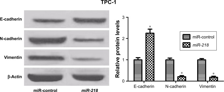 miR-218 inhibits EMT of PTC cells. Notes: Western blot was conducted to determine the expression levels of E-cadherin, N-cadherin, and vimentin in TPC-1 cells transfected with miR-control or miR-218 mimic. * P