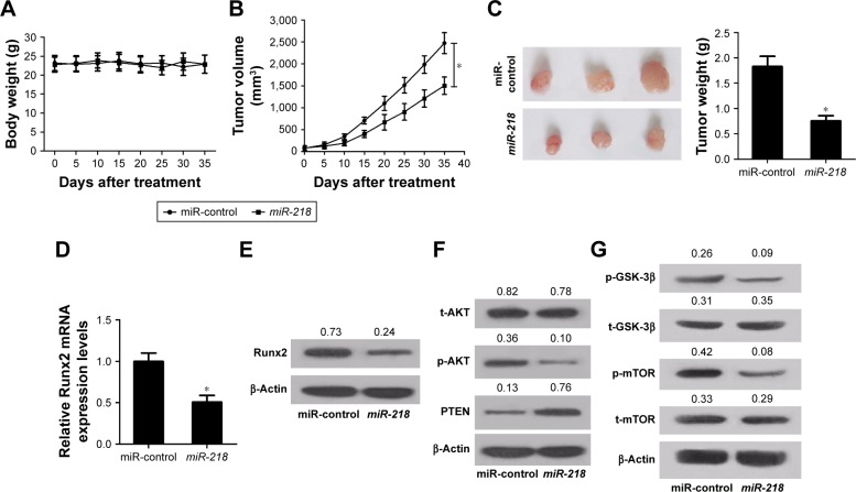 miR-218 overexpression inhibits PTC tumor growth in vivo. Notes: TPC-1 cells transfected with lentiviral vectors containing miR-218 or miR-control were injected into nude mice. The mice ( A ) body weights and ( B ) tumor volumes were monitored every 5 days. ( C ) The mice were killed after 35 days, and the tumor weights were measured. The expression of Runx2 at mRNA and protein levels in removed tumors was assessed by ( D ) qRT-PCR and ( E ) Western blot. ( F ) The protein levels of phosphorylated AKT (p-AKT) (Ser473), PTEN, and total AKT (t-AKT) in excised tumors were determined by Western blot. ( G ) The protein levels of p-mTOR, t-mTOR, p-GSK-3β, and t-GSK-3β in excised tumors were examined by Western blot. * P