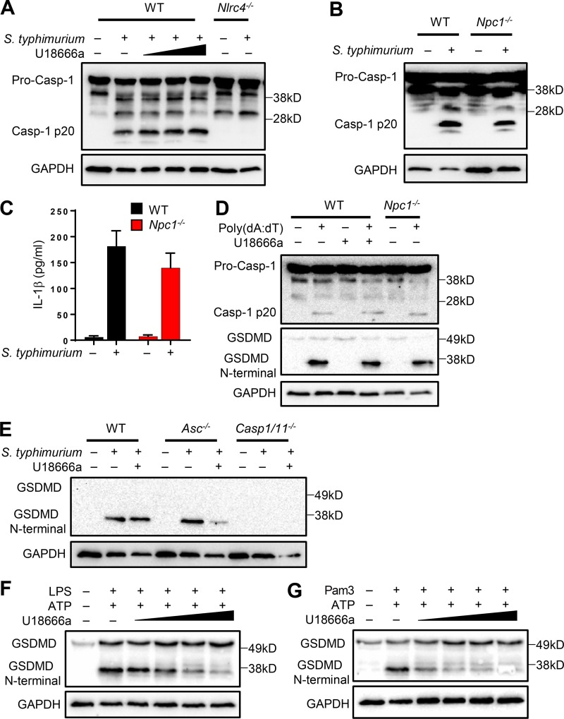 Npc1 deficiency does not affect the activation of NLRC4 and AIM2 inflammasomes. (A) WT iBMDMs were incubated with or without the presence of increasing concentrations of U18666a (2, 5, and 10 µg/ml) alongside Nlrc4 −/− cells and subsequently infected with S. typhimurium at an MOI of 2 for ∼4 h. Cell lysates were immunoblotted for casp-1 and GAPDH. (B) WT and Npc1 −/− cells were treated with S. typhimurium for 4 h and immunoblotted as in A. (C) Cell supernatants were analyzed for IL-1β. (D) WT cells either treated or not with U18666a (5 µg/ml) and Npc1 −/− cells were transfected with poly(dA:dT) for 4 h before cell lysates were immunoblotted for the antibodies indicated. (E) WT, Asc −/− , and caspase 1/11 −/− cells were exposed or not to U18666a before infection with S. typhimurium as above. Cell lysates were immunoblotted for GSDMD and GAPDH. (F and G) BMDMs were treated with either LPS (500 ng/ml; 4 h) or Pam3 (500 ng/ml; 4 h) in the presence of increasing concentrations of U18666a (1, 2, 5, and 10 µg/ml) followed by ATP (5 mM; 45 min). Cell lysates were immunoblotted for GSDMD and GAPDH.