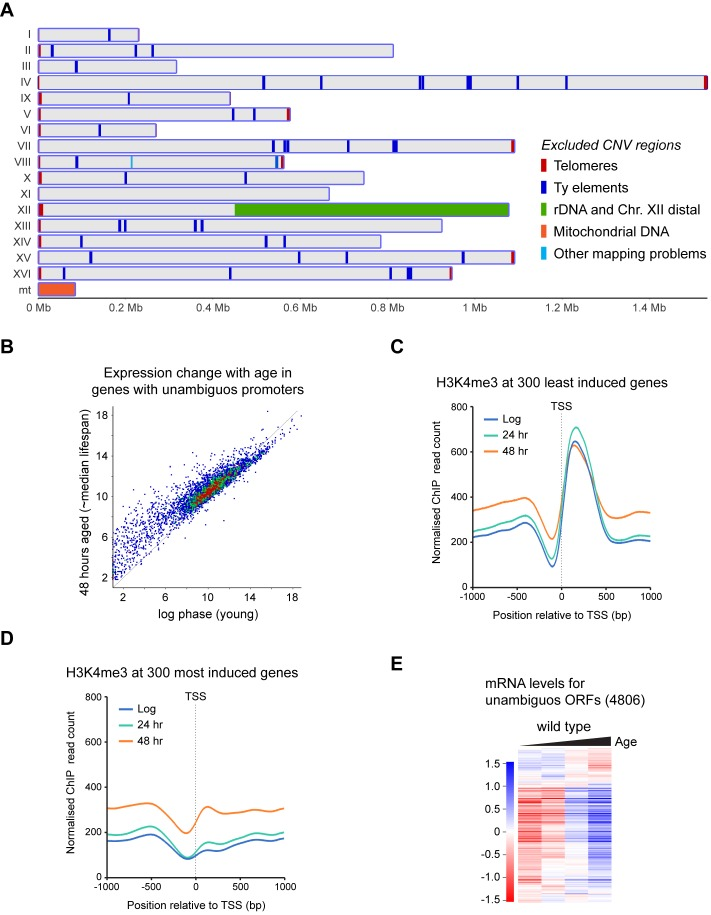 Dynamics of H3K4me3 and expression in subsets of genes. ( A ) Genomic regions subject to age-linked CNV detected by comparison between input samples; these were excluded from ChIP analysis. ( B ) Scatter plot of log 2 -transformed <t>mRNAseq</t> read counts from protein coding genes defined in Figure 4A normalised for ORF length comparing log phase cells to 48-hr-aged cells. Data averaged across five replicates per condition. ( C ) Average profile of H3K4me3 ChIP signal for 1 kb either side of the TSS performed as in Figure 4C , for 300 genes least induced with age. ( D ) As ( C ) for 300 most induced genes. ( E ) Hierarchical clustering analysis of log 2 -transformed mRNA levels across age for the 4806 unambiguous genes defined in Figure 4A .