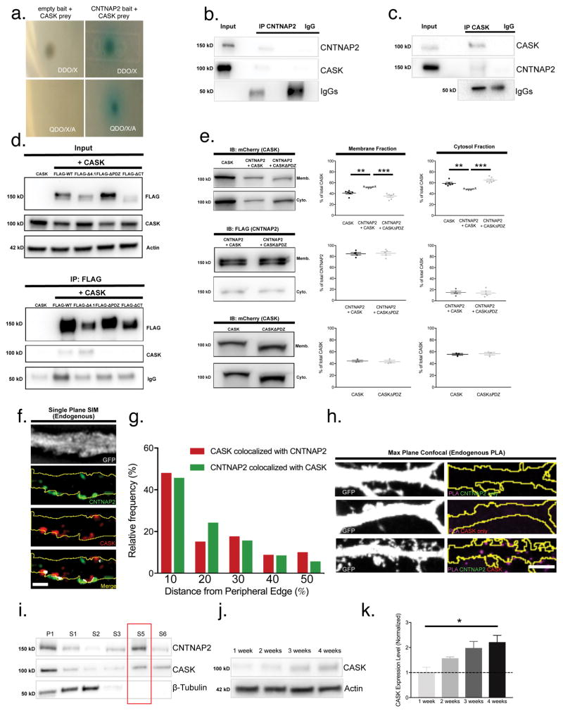 CNTNAP2 interacts with CASK at the plasma membrane in cortical GABAergic interneurons (a) Only yeast cells co-expressing CNTNAP2 bait and CASK prey constructs grow on high stringency yeast plates (QDO/X/A). (b–c) Cropped western blots of <t>co-immunoprecipitation</t> experiments with CASK and CNTNAP2 in mouse cortex. (d) Cropped western blots showing co-immunoprecipitation of various FLAG-CNTNAP2 truncation mutants ( Supplementary Figure 5a ; red lines) with untagged, full-length CASK in HEK293T cells. (e) Representative cropped western blots of membrane/cytosol fractions of HEK293T cells expressing pCS2-FLAG + CASK-mCherry (CASK), FLAG-CNTNAP2 + CASK-mCherry (CNTNAP2 + CASK), or FLAG-CNTNAP2 + CASKΔPDZ-mCherry (CNTNAP2 + CASKΔPDZ) and subsequent quantification of protein localization (CASK vs. CNTNAP2 + CASK vs. CNTNAP2 + CASKΔPDZ: 6 independent experiments; CASK alone vs. CASKΔPDZ alone: 3 independent experiments). Percentages were calculated by dividing the densitometry value of CASK/CNTNAP2 in either membrane or cytosol fraction by the summation of both. (f) Representative SIM image of endogenous CNTNAP2 and CASK co-localization (white) on a GFP-transfected interneuronal dendrite (scale bar = 5 μm). (g) Histogram showing distribution of CASK/CNTNAP2 co-localized puncta relative to the dendrite's lateral edge from (f) (CASK colocalized with CNTNAP2: n = 79 puncta from 3 cultures; CNTNAP2 colocalized with CASK: n = 70 puncta from 3 cultures). (h) Representative confocal image showing PLA signal from endogenous CASK/CNTNAP2 staining, which occurs only when CASK and CNTNAP2 primary antibodies are both applied (scale bar = 1 μm). (i) Cropped immunoblots of subcellular fractionations from adult mouse forebrain probed with CNTNAP2, CASK, and β-tubulin. CNTNAP2 and CASK, but not β-tubulin, are found in the washed membrane fraction (S5; red box). (j) Cropped western blot of time course and (k) quantification of CASK expression in cultured cortical neurons (n = 3 independent experiments). Values are means ± SEM. * P≤0.05, ** P≤0.01, *** P≤0.001; one-way ANOVA with Bonferroni's correction (k, top graph; e). Student's t-test (middle and bottom graphs; e).