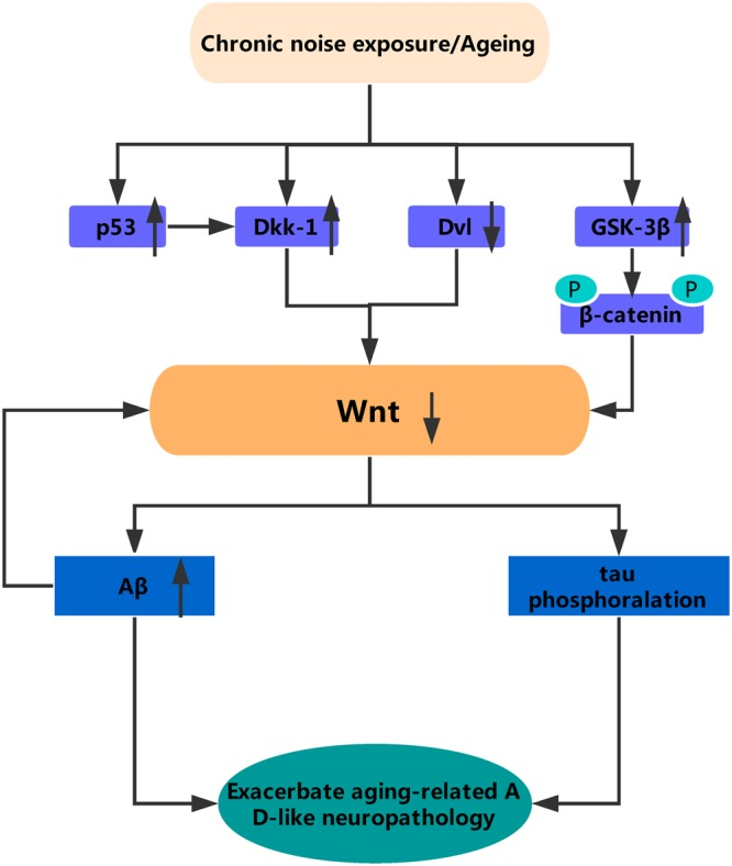 A simplified model of the relationship between Wnt signaling and AD pathology. Chronic noise exposure and aging could induce activation of Dkk-1, a Wnt pathway inhibitor. In the one hand, in absence of Wnt ligands, Dvl protein expression decreased and both β-catenin and tau are phosphorylated by GSK-3β, in the other hand, without the inhibition of Wnt, the expression of Aβ significantly increased, which further exacerbates the downregulation of wnt. All of this indicates that the AD-like neuropathology observed in mice of accelerated aging after chronic noise is likely to be the result of dysregulation of Wnt signaling. Dkk-1, Dickkopf-related protein 1; Dvl, disheveled; p, phosphorylation.