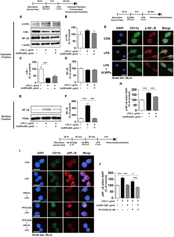 ALWPs decreased LPS-induced nuclear NF-κB (Ser536) levels. (A) BV2 microglial cells were pretreated with ALWPs (500 μg/ml) or PBS for 5 h, followed by treatment with LPS (1 μg/ml) or PBS for 45 min and subcellular fractionation (nucleus vs. cytosol). Western blotting was conducted on the cytosolic fraction using antibodies against p-IκBα, IκBα, NF-κB, and β-actin (as a cytosolic marker). (B–D) Quantification of the data from (A) (p-IκBα: con, n = 12; LPS, n = 12; ALWPs + LPS, n = 12; IκBα: con, n = 12; LPS, n = 12; ALWPs + LPS, n = 12; NF-κB: con, n = 12; LPS, n = 12; ALWPs + LPS, n = 12). (E) Western blotting was performed on the nuclear fraction using antibodies against NF-κB and PCNA (as a nuclear marker). (F) Quantification of the data from (E) (con, n = 12; LPS, n = 12; ALWPs + LPS, n = 12). (G) BV2 microglial cells were pretreated with ALWPs (500 μg/ml) or PBS for 5 h and then treated with LPS (1 μg/ml) or PBS for 45 min. Cells were fixed and immunostained with anti-CD11b and anti-p-NF-κB (Ser536) antibodies (40× confocal images). (H) Quantification of the data from (G) (con, n = 122 cells; LPS, n = 129 cells; LPS + ALWPs, n = 111 cells). (I) BV2 microglial cells were pretreated with PF-573228 (a FAK inhibitor, 5 μM) or vehicle (1% DMSO) for 30 min, followed by treatment with ALWPs (500 μg/ml) or PBS for 30 min and finally LPS (1 μg/ml) or PBS for 5 h. Cells were fixed and immunostained with anti-CD11b and anti-p-NF-κB (Ser536) antibodies. (J) Quantification of the data from (I) (con, n = 260 cells; LPS, n = 331 cells; LPS + ALWPs, n = 265 cells; LPS + FAK inhibitor, n = 188 cells; LPS + FAK inhibitor + ALWPs, n = 199 cells). Scale bar 20 μm (40× confocal images). ∗ p
