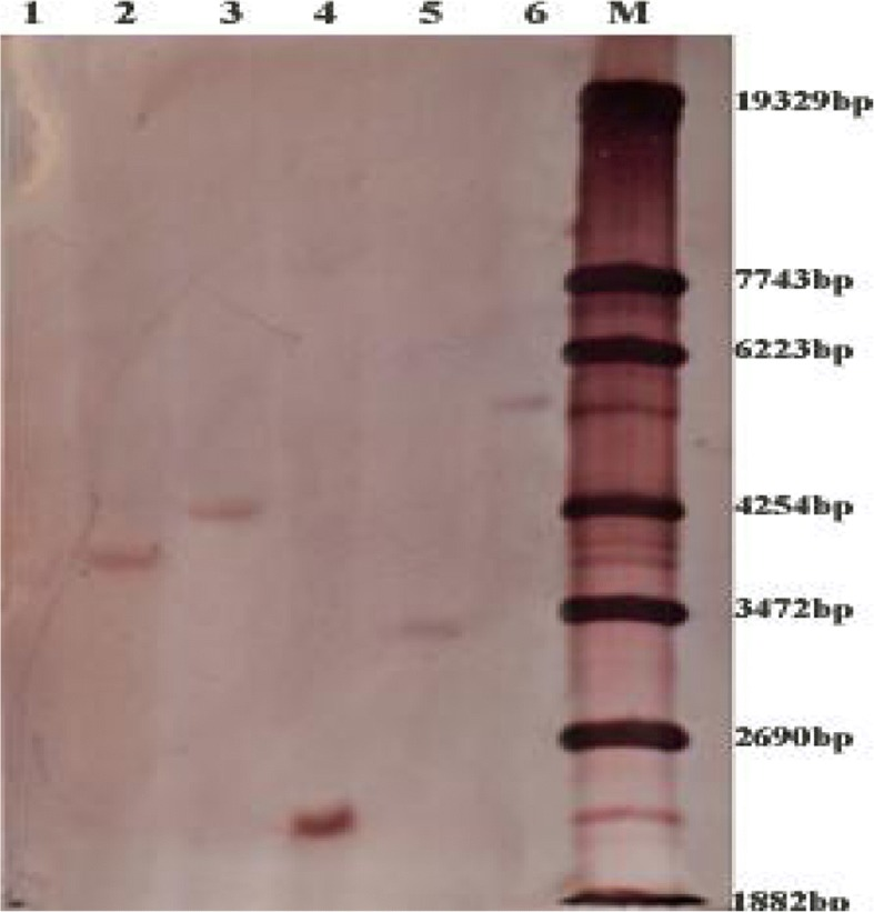 Southern blotting analysis in selected T 0 primary wheat transformants. Genomic DNA digested with Eco R V and hybridized with FAD2 probe. The number of reactive bands in each lane represents the transgene copies in each transgenic line. Lane 1 is WT (NB1), lanes 2~ 6 are JW1-1A, JW5-1A, JW41-1B, JW39-3A and JW1-2B, respectively, M is the marker: λ-EcoT14 I digest (TaKaRa, Dalian, China)