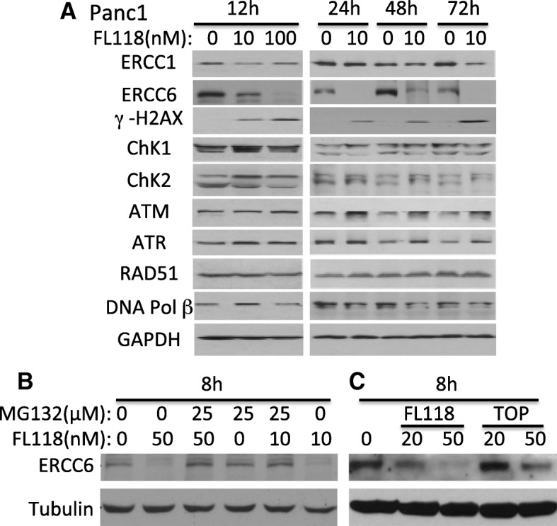 Effects of FL118 on the expression of proteins that are involved the pancreatic cancer cell DNA damage and repair: a , Subconfluent PANC1 pancreatic cancer cells were treated with FL118 as shown, and the expression of ERCC1, ERCC6, γ-H2AX, ChK1, ChK2, ATM, ATR, RAD51 and DNA Pol II was detected by western blots using corresponding antibodies for each protein. GAPDH is an internal control for protein loading. b, Decrease of ERCC6 expression can be rescued with proteasome inhibitor MG132. Subconfluent SKOV3 cells were treated with FL118 and MG132 alone or in combination as shown for 8 h, followed by western blot analyses with ERCC6 antibody. Tubulin is the internal control for protein loading. c , Comparison of FL118 and topotecan (TOP) effects on ERCC6 expression. Subconfluent SKOV3 cells were treated with FL118 or TOP as shown for 8 h, followed by western blot analyses with ERCC6 antibody. Tubulin is the internal control for protein loading