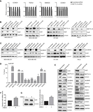 METTL14 and ALKBH5 constitute a positive feedback loop with HuR to regulate the stability of target genes. ( A ) Quantitative reverse transcription polymerase chain reaction (qRT-PCR) analysis showing stability of target genes in scrambled-siRNA– or METTL14-siRNA–transfected MDA-MB-231 cells treated with actinomycin (5 μg) for the indicated hours. Transcript levels in scrambled-transfected cells were normalized to 100% for each time point. The data shown are means ± SEM of three independent experiments ( n = 3 biological replicates per experiment). ( B and C ) Western blot analysis of scrambled-siRNA–transfected, METTL14-siRNA–transfected (B), or ALKBH5-siRNA–transfected (C) MDA-MB-231, MDA-MB-468, BT-549, and HeLa cells using antibodies against the indicated proteins. The data shown are means ± SEM of three independent biological replicates. β-Actin and glyceraldehyde-3-phosphate dehydrogenase (GAPDH) were used as loading controls. #, *, **, and $ symbols next to β-actin in (B) and (C) indicate the same loading control as in Fig. 5C . The same loading controls were used because gels were stripped and reprobed for different proteins. Relevant proteins are shown in different figures to maintain the flow of the results. Quantification of band intensities is shown in fig. S5I. ( D ) qRT-PCR showing enrichment of HuR, METTL14, ALKBH5, and their target genes in MDA-MB-231 cells subjected to RIP using antibody against HuR. The data shown are means ± SEM of six independent experiments. ( E ) Western blot analysis of the indicated proteins in two sets of scrambled-siRNA– or HuR-siRNA (KD #1 and KD #2)–transfected MDA-MD-231 cells. β-Actin and GAPDH served as loading controls. Gel photograph is representative of at least three independent experiments. Quantification of band intensities is shown in fig. S5J. ( F and G ) qRT-PCR (F) and Western blot (G) analysis showing HuR expression in MDA-MB-231 cells treated with or without recombinant TGFβ1 (rTGFβ1; 2 ng/ml) using HuR-spe