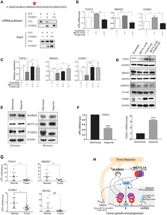 m 6 A reader blocks RNA demethylase activity to regulate m 6 A levels and expression of target genes. ( A ) m 6 A-contaning biotin-labeled TGFβ1 mRNA was incubated with 1 μg of FTO in the absence (−) or presence of 1 μg (+) or 2 μg (++) of YTHDF3, followed by mRNA pulldown and Western blot using antibodies against YTHDF3 or FTO. A portion of the sample collected before pulldown served as inputs. Gel photograph represents results from three independent experiments. ( B ) qRT-PCR showing m 6 A abundance (normalized to input) of target genes in MeRIP samples from MDA-MB-231 cells transfected with <t>scrambled-siRNA,</t> <t>METTL14-siRNA</t> (METTL14 KD), or METTL14 KD + YTHDF3-siRNA (YTHDF3 KD). The data shown are means ± SEM of three independent experiments. ( C and D ) qRT-PCR (C) and Western blot (D) analysis of scrambled-siRNA–, METTL14-siRNA (METTL14 KD)–, YTHDF3-siRNA (YTHDF3 KD)–, or METTL14-siRNA + YTHDF3-siRNA–transfected MDA-MB-231 cells using gene-specific primers and antibodies against the indicated proteins. The data shown in (C) are means ± SEM of four independent experiments. Gel photographs in (D) represent results from three independent experiments. Quantification of band intensities for (D) is shown in fig. S8K. ( E ) Western blot analysis of MDA-MB-231 cells exposed to normoxic and hypoxic conditions for 24 and 48 hours using antibodies against the indicated proteins. β-Actin served as a loading control. Gel photographs represent results from three independent experiments. Quantification of band intensities for (E) is shown in fig. S10A. ( F ) qRT-PCR showing TGFβ1 m 6 A abundance (normalized to input) in MeRIP samples (left) and TGFβ1 mRNA levels (right) from MDA-MB-231 cells exposed to normoxic and hypoxic conditions. The data shown are means ± SEM for two (for MeRIP) and three (for expression analysis) independent experiments. ( G ) qRT-PCR showing m 6 A abundance (normalized to input) of target gene in breast cancer patients ( n = 10) and normal 
