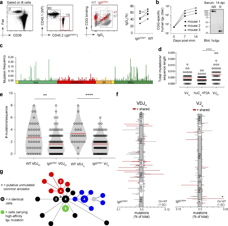 CSR, SHM, and antigen-driven selection in Igh CGG/+ B cells. (a) Igh CGG/+ B cells (CD45.2/2) were adoptively transferred into WT (CD45.1/1) recipients, which were immunized 1 d later with CGG in alum. CSR to IgG 1 was determined in GC B cells (CD19 + TCRβ – Fas + CD38 lo ) from donor (CD45.2/2) and recipient (CD45.1/1) mice by flow cytometry. Graph shows percentage of IgG 1 + GC B cells in five mice from two independent experiments. Proportions of switched cells in the same mouse are connected by a line. P = 0.23 (unpaired t test). Numbers within flow plots indicate percentage of cells in the designated gate. (b) Left: Serum titer of IgG 1 + /human Cκ + Ig in three mice adoptively transferred with Igh CGG/+ B cells and immunized with CGG. Graph shows data for three mice from two independent experiments. Right: Western blot for human Igκ in serum of mice adoptively transferred with Igh CGG/+ B cells and immunized with CGG 14 d after immunization. NR, nonreducing conditions; R, reducing conditions (DTT). Blot is representative of two experiments. (c–f) GC B cells from adoptive transfer experiments as in panel a were single sorted, and the entire Igh CGG/+ allele was PCR-amplified and sequenced. (c) Nucleotide mutation frequencies along the Igh CGG/+ locus, calculated as the fraction of times a particular nucleotide was mutated from the original sequence. (d) Total mutation frequency per region (normalized to sequence length). Each symbol represents one cell. (e) Number of nucleotide mutations in VDJ H and VJκ in Igh CGG/+ GC B cells compared with WT GC B cells carrying the same rearrangement selected by CGG immunization, as reported previously ( Tas et al., 2016 ; only data from LN#2 GC2 in Fig. 4 from Tas et al., 2016 are analyzed). Data from two transfers of Igh CGG/+ B cells are pooled and compared with the WT. **, P ≤ 0.001; ****, P ≤ 0.0001 (unpaired t test). (f) Comparison of nucleotide mutation patterns between Igh CGG/+ B cells and WT GC B cells carrying the 