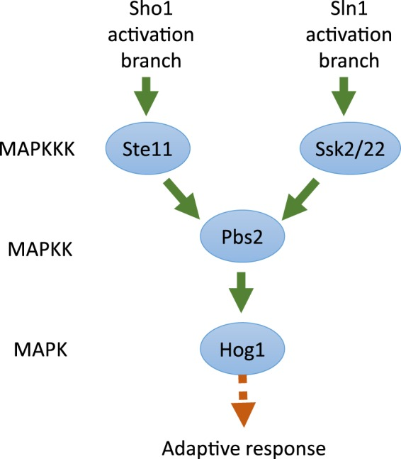 MAPK pathway leading to activation of Hog1 in S. cerevisiae .