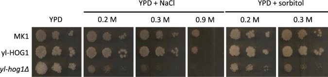 Growth of Y. lipolytica strains MK1, yl-hog1Δ and yl-HOG1 after 48 h on YPD agar medium supplemented with different concentrations of NaCl or sorbitol.
