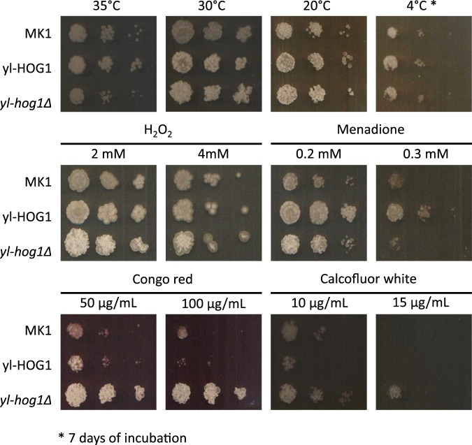 Growth of Y. lipolytica strains MK1, yl-hog1Δ and yl-HOG1 after 48 h on YPD agar medium either at the indicated temperature, or supplemented with the indicated stress agents.