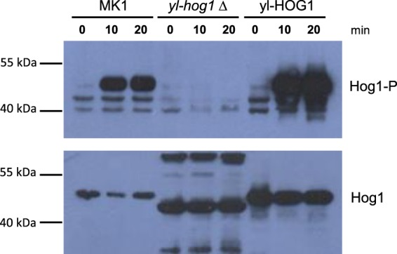 Western blot analysis of whole cell extracts isolated from Y. lipolytica wild type (MK1), yl-hog1∆ and yl-HOG1 cells after treatment with 1 M NaCl for the specified times. The active form of protein (Hog1-P) was detected using an anti-phospho p38 antibody (upper panel). Total levels of yl-Hog1 protein were determined by probing the blot with an anti-Hog1 antibody (lower panel). The full-length blots are presented in Supplementary Fig. 1 .