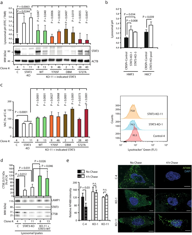 STAT3 regulates lysosomal pH and activity. a Lysosomal pH determined by FITC/TMR ratio in a HeLa CRISPR control cell clone (C-4), STAT3-KO clones (KO-1 and −11), and KO-11 clone reconstituted with wild-type (WT) or mutated (Y705F, DBM, S727A) STAT3 constructs. Representative immunoblots show STAT3 and ACTB (loading control) protein levels in the clones. Standard curve for pH measurements is shown in Supplementary information, Fig. S4a . b Lysosomal pH determined as in a in CRISPR control and STAT3-KO HMF3 and H6C7 cells. Standard curve for pH measurements is shown in Supplementary information, Fig. S4a . c Volume of acidic compartment (VAC) in HeLa cell clones described in a analyzed by flow cytometer after 5 min staining with 75 nM Lysotracker Green. Relative fluorescence intensities are shown on the left. A representative flow cytometry profile is shown on the right. For other flow cytometry profiles and gating of the cells, see Supplementary information, Fig. S4c and d . d Representative immunoblots of LAMP1, STAT3, and cathepsin B (CTSB) in lysosomal lysates of the indicated HeLa cell clones. The histogram shows ratios between the active (25 kDa) and inactive (31 kDa) CTSB as percentages of the value in C4 control clone. e AlexaFluor 488-Dextran degradation in the indicated HeLa clones loaded with 0.4 mg/ml AlexaFluor 488-dextran for 20 min, washed, and fixed with or without a 4 h chase period. Representative images taken with 60× magnification using Zeiss LSM700 confocal microscope are shown on the right. Error bars, SD of ≥ 3 independent experiments. A minimum of 10 cells/sample were analyzed in a , b , and e . P -values were calculated by one-way ANOVA combined with Dunnett's multiple comparisons test ( a , c ) or two-stage linear step-up procedure of Benjamini, Krieger, and Yekutieli ( b , d ) for multiple comparisons, or by two-tailed, homoscedastic Student's t -test ( e )