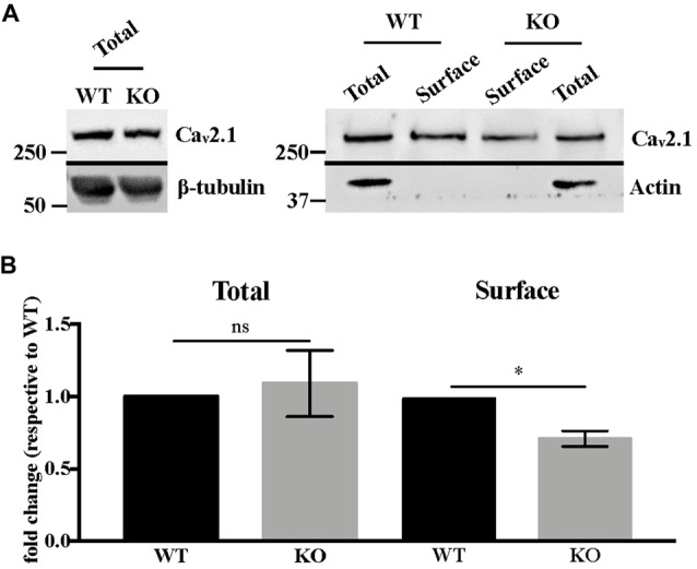 Ca v 2.1 protein is mis-expressed at the plasma membrane of  Fmr1 -KO cortical neurons.  (A)  Western blot analysis of biotinylated Ca v 2.1 in DIV 15–19 cortical neurons. β-tubulin is used as the loading control, whereas actin is used as the immunoprecipitation control.  (B)  Quantification of total and cell-surface Ca v 2.1 protein levels. Results are presented as the mean ± SEM, Mann-Whitney test: * P