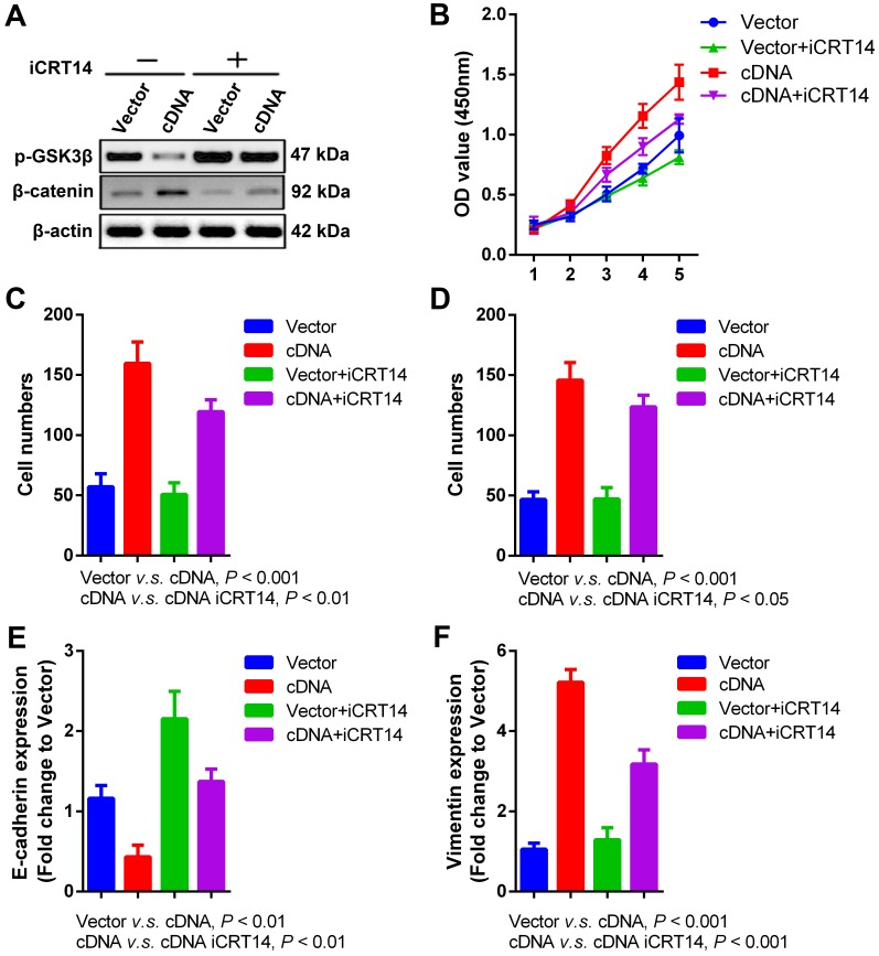 Wnt/β-catenin signaling pathway is involved in <t>PVT1-</t> mediated SCCHN progression. Specific inhibitor iCRT14 (20μmol/L) was used to impede Wnt/β-catenin signaling pathway in FaDu cells infected with PVT1 <t>cDNA</t> and empty vector, and then: (A) western blotting assays were used to check alterations of Wnt/β-catenin signaling molecules. (B) Cell proliferation was assayed by CCK8. (C) Transwell migration and (D) invasion assays were used to examine the changes of migration and invasion. (E) E-cadherin and (F) Vimentin mRNAs were examined by qPCR.