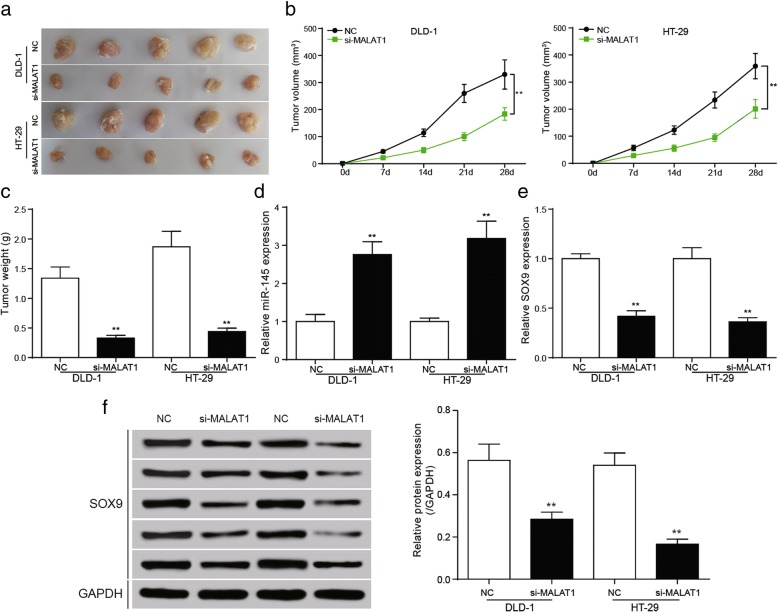 Down-regulation of SOX9 inhibited the growth of tumor in vivo a the tumor specimen figure of nude mice. b statistics of tumor volume, the growth of si-MALAT1 group and si- SOX9 group was the slowest, and the volume was the smallest. The tumor volume of NC group and si- SOX9 + miR-145 inhibitor group, si-MALAT1 + pCDNA3- SOX9 group was comparative. pcDNA3.1- SOX9 group had the largest tumor volume. c Statistical results showed that tumor weight in nude mice, the tumor weight was significantly reduced in si-MALAT1 group. d The relative miR-145 expression was conspicuously increased in si-MALAT1 group in tumor tissues. e , f The qRT-PCR and western blot showed SOX9 expression was significantly decreased in si-MALAT1 group in tumor tissues. ** P