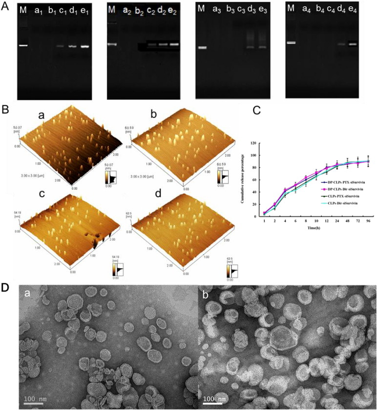 Characterization of nanocomplex. (A) Agarose gel electrophoretic mobility shift assay was performed for DP-CLPs–PTX–survivin siRNA (M-e 1 ), DP-CLPs–scrambled siRNA (M-e 2 ), CLPs–PTX–survivin siRNA (M-e 3 ) and CLPs–scrambled siRNA (M-e 4 ). Control was in lane M. Lanes a, b, c, d and e corresponded to lipid/siRNA ratios of 1:0.05, 1:0.08, 1:0.1, 1:0.15 and 1:0.2 (w/w), respectively. (B) Atomic force microscopy pictures of (a) CLPs–scrambled siRNA, (b) DP-CLPs–scrambled siRNA, (c) CLPs–PTX–survivin siRNA siRNA and (d) DP-CLPs–PTX–survivin siRNA siRNA at a lipid/siRNA weight ratio of 1:0.08. (C) PTX and DiR in vitro release profiles from the above liposomes. (D) TEM of (a) CLPs–PTX–survivin siRNA siRNA and (b) DP-CLPs–PTX–survivin siRNA siRNA at a lipid/siRNA weight ratio of 1:0.08.