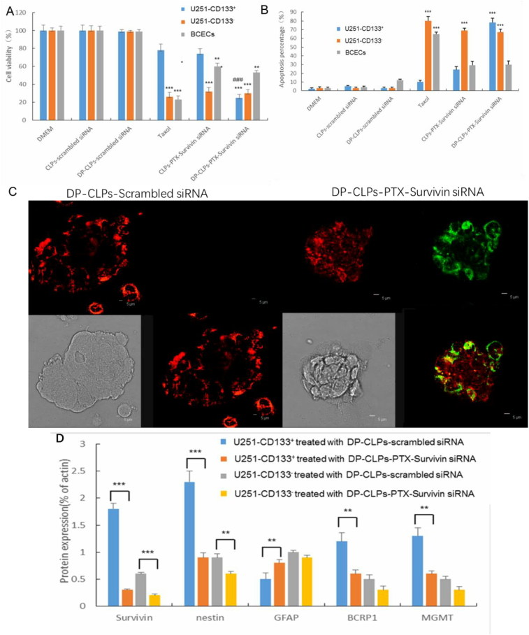 (A) Quantification of the viability of U251-CD133 + cells, U251-CD133 – cells and BCECs after treatment with DMEM, CLPs–scrambled siRNA, DP-CLPs–scrambled siRNA, PTX, CLPs–PTX–survivin siRNA siRNA or DP-CLPs–PTX–survivin siRNA for 48 h. * p
