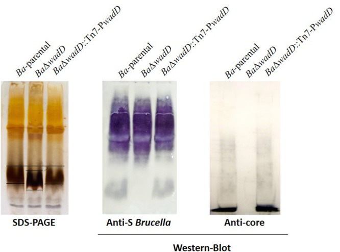Mutation of  wadD  generates an LPS core defect. Left panel, SDS–PAGE electrophoresis and silver staining of SDS–proteinase K extracts; central panel, Western blot analysis of SDS–proteinase K extracts with a polyclonal serum of a  B. melitensis -infected rabbit; right panel, Western blot analysis of SDS–proteinase K extracts with monoclonal anti-core antibody A68/24G12/A08.