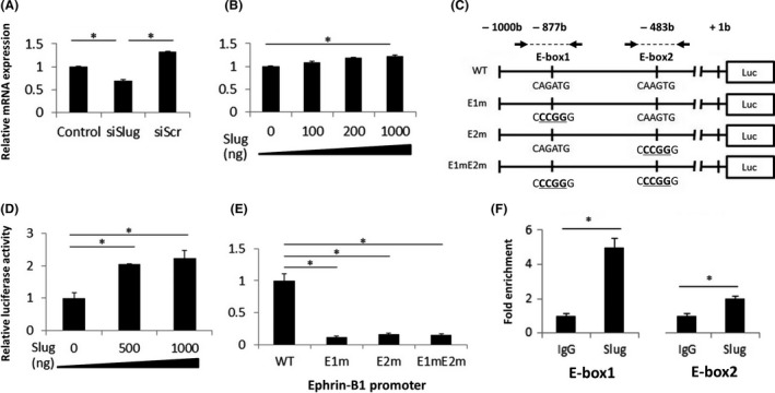 Chronic hypoxia‐induced slug activates expression of ephrin‐B1 through E‐box motifs. A, Relative expression of ephrin‐B1 mRNA in non‐transfected (control), slug si <t>RNA</t> ‐transfected (siSlug) and control si RNA ‐transfected (siScr) LNC aP/ CH 6M cells. B, Relative expression of ephrin‐B1 mRNA in the LNC aP/N cells transfected with various amounts of the slug‐expression vector, pL enti6.3/V5‐ DEST ‐slug (0‐1000 ng). C, Schematic diagram of luciferase reporter constructs containing wild‐type human ephrin‐B1 promoter ( pGL ‐Basic‐ephrin‐B1 promoter WT ), E‐box1 (E1m) or E‐box2 (E2m) mutations, or double mutations (E1mE2m). Arrows, primer pairs flanking E‐box motifs used for chromatin immunoprecipitation (ChIP) analysis. D, Effect of slug overexpression on the wild‐type ephrin‐B1 promoter activity. LNC aP/N cells were transfected with 1000 ng pGL ‐Basic‐ephrin‐B1 promoter WT and various amounts of the slug‐expression vector, pL enti6.3/V5‐ DEST ‐slug (0‐1000 ng). Firefly luciferase activity was normalized to Renilla luciferase activity. E, Mutational analysis of the E‐box motifs in the ephrin‐B1 promoter. LNC aP/N cells were transfected with 1000 ng pL enti6.3/V5‐ DEST ‐slug, and 1000 ng pGL ‐Basic‐ephrin‐B1 promoter WT , E1m, E2m, or E1mE2m. F, Ch IP analysis of slug on the E‐box regions in the ephrin‐B1 promoter. Soluble chromatin extracted from LNC aP/ CH 6M cells was immunoprecipitated with anti‐slug and control IgG antibodies. Ch IP was analyzed on quantitative <t>PCR</t> using primers flanking the E‐box motifs, E‐box1 and E‐box2, shown in (C). Fold change compared with control IgG‐enriched DNA fragments was measured. Data given as mean ± SD . * P