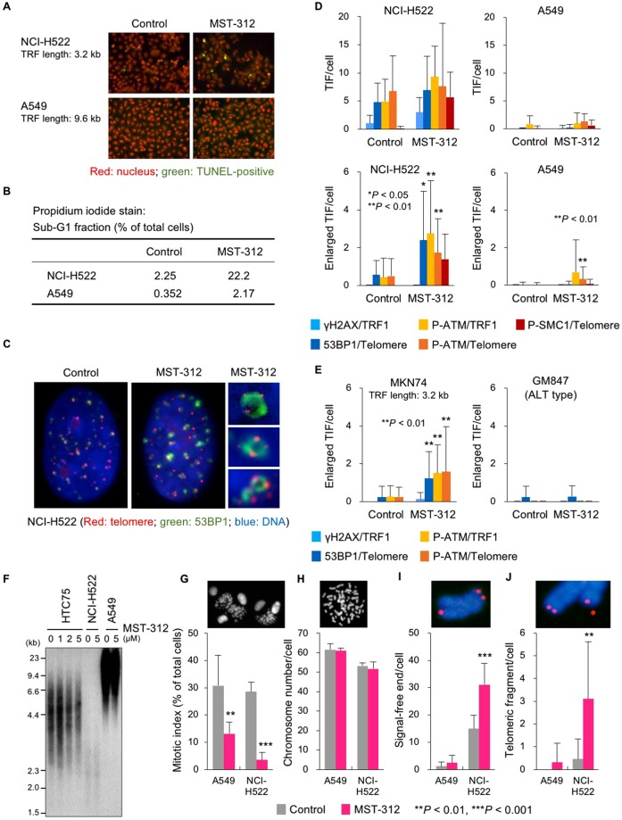 Telomere dysfunction induced by MST-312. ( A ) TUNEL assay of MST-312-treated cells. Human lung cancer NCI-H522 [mean telomeric restriction fragment (TRF) length = 3.2 kb] and A549 (mean TRF length = 9.6 kb) cells were treated with 5 μM MST-312 for 48 h and then subjected to TUNEL assay for detection of <t>apoptotic</t> cells ( green ). ( B ) Quantification of apoptotic cells. Cells were treated as in ( A ) and then stained with propidium iodide; the apoptotic sub-G1 fraction was quantitated by flow cytometry. ( C ) Immuno-FISH analysis of NCI-H522 cells treated with 5 μM MST-312 for 48 h. Red : telomere DNA; green : 53BP1; blue : DAPI. Right panels are magnified views of enlarged telomere dysfunction-induced foci (TIF). ( D , E ) Quantitation of TIF. Cells were treated as in ( A ), and telomeres and the indicated proteins were detected by FISH and immunofluorescence staining, respectively. Because the cells with short telomeres gave high background levels of TIF even without MST-312 treatment ( D , upper left ), enlarged TIF were quantitated as a hallmark of the MST-312-induced telomeric DNA damage response. Error bar indicates standard deviation. Asterisk indicates statistical significance in the difference between control and MST-312-treated cells (unpaired two-tailed t test). ALT: alternative lengthening of telomeres. ( F ) Telomere southern blot analysis. Cells were treated with indicated doses of MST-312 for 48 h. HTC75 fibrosarcoma cells were analysed as a control because the telomere length fluctuation of this cell line can be detected by southern blot analysis. ( G ) Cells were treated as in ( A ) and mitotic index was quantitated. ( H – J ) Cells in ( G ) were further incubated with colcemid. Metaphase spreads of chromosomes were subjected to telomere FISH, and chromosome number ( H ), telomeric signal-free ends ( I ) and telomeric fragments ( J ) were quantitated. Red : telomere DNA, blue : DAPI stain of chromosome DNA. Asterisk indicates statistical sign