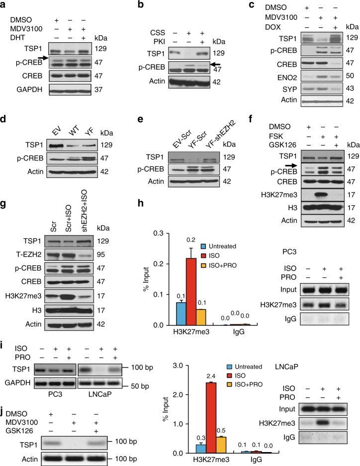 ADT and CREB activation downregulate TSP1 through EZH2-mediated epigenetic repression. a Western blotting for TSP1 and p-CREB levels in 22Rv1 cells treated with 10 μM MDV3100 for 72 h without or with 5 nM of DHT for 24 h. b LNCaP cells were grown in CSS medium for 48 h, without or with subsequent treatment of 10 μM PKA inhibitor PKI for 5 h. TSP1 and p-CREB protein levels were assessed by western blotting. c Protein level changes of p-CREB, TSP1, and NE markers in LNCaP-Dox-ACREB cells treated by MDV3100 with and without Dox for 72 h. ACREB, a CREB inhibitory polypeptide, is induced by Dox. d TSP1 expression in PC3 cells overexpressing empty vector, wild-type (WT) or constitutively active mutant (Y134F) of CREB cDNA. e PC3 cells expressing empty vector or CREB-Y134F were infected with pLKO.1 lentivirus for shEZH2, followed by the examination of TSP1 expression. f PC3 cells were treated with 10 μM PKA/CREB activator forskolin (FSK) with or without EZH2 inhibitor GSK126 (5 μM) for 24 h. Levels of indicated proteins were measured by western blotting. g PC3 cells expressing shEZH2 were treated with 10 μM PKA/CREB activator ISO for 24 h. PC3 cells expressing Scramble control shRNA were used as control. h LNCaP and PC3 cells were treated with 10 μM PKA/CREB signaling activator ISO, with or without 10 μM PKA/CREB signaling inhibitor PRO, for 24 h, followed by ChIP assay using anti-H3K27me3 or IgG control antibody. The amount of H3K27me3 histone marks on TSP1 promoter was measured by quantitative PCR and presented as % of the input ( Y -axis). DNA gel electrophoresis was performed to visualize the PCR results. i RT-PCR for TSP1mRNA changes in PC3 and LNCaP cells that were treated similarly as in the ChIP-qPCR above. j LNCaP cells were treated either with DMSO, 10 μM MDV3100 without or with 5 μM GSK126 for 72 h. RT-PCR was done for TSP1 and beta actin