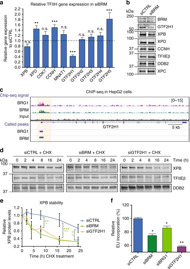 BRM stabilizes TFIIH by promoting GTF2H1 expression. a Relative quantification of individual TFIIH genes expression in U2OS cells treated with control (CTRL) or BRM siRNAs, as determined with RT-qPCR. Individual basal gene expression in BRM knockdown was normalized to siCTRL levels, which were set to 1.0 (dotted line in graph). GAPDH expression was used for normalization. Mean S.E.M. of at least three independent experiments. ** P