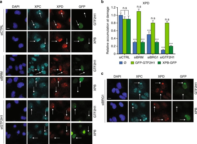 """GTF2H1 expression rescues TFIIH in BRM/BRG1 depleted cells. Representative IF of XPD recruitment (red channel) to LUD marked by XPC (cyan channel). U2OS cells were fixed 30 min after local UV-C irradiation (60 J/m 2 ) through a microporous membrane (8 µm). a U2OS cells were treated with control (CTRL), BRM, or GTF2H1 siRNAs and transiently transfected with TFIIH subunits XPB or GTF2H1 fused to GFP (green channel). Scale bar: 10 µm. b Quantification of XPD recruitment to LUD. Relative accumulation at LUD (over nuclear background) in each condition was normalized to control (siCTRL without transient transfection of TFIIH subunits, indicated by """"empty"""" symbol), in which nuclear background was set at 0 and maximal signal at LUD set to 1.0 ( > 50 cells per sample, mean S.E.M. from four independent experiments). *** P"""