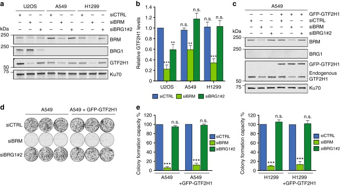 Cancer cells with chronic BRG1 deficiency restore GTF2H1 expression. a Immunoblot showing total protein levels of BRM, BRG1, and GTF2H1, in cell lysates of <t>U2OS</t> and BRG1-deficient non-small lung cancer cell (NSCLC) lines A549 and H1299 treated with control (CTRL), BRG1 or BRM siRNAs. Ku70 was used as loading control. b Relative quantification of GTF2H1 protein levels in U2OS, A549, and H1299 cells transfected with control (CTRL), BRG1 or BRM siRNA. GTF2H1 levels were normalized to Ku70 and the total relative amount of GTF2H1 in whole cell lysates was set to 1.0 in U2OS siCTRL. Mean S.E.M. from at least three independent experiments ** P