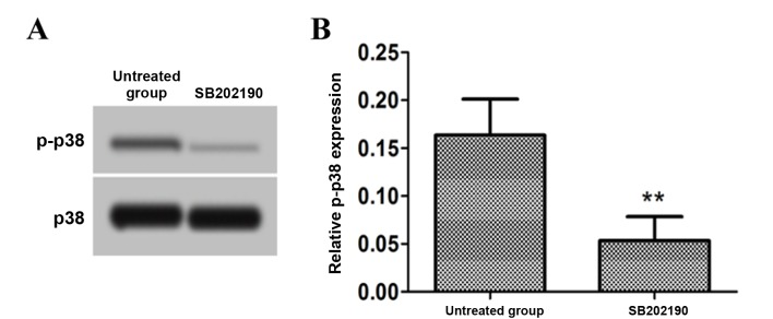 Effect of a p38 signaling pathway inhibitor on p-p38 protein expression i n astrocytes. (A) Representative western blot bands for the protein expression of p-p38 and p38 in untreated astrocytes and astrocytes treated with the p38 signaling pathway inhibitor, SB202190. (B) Densitometric analysis was performed to obtain the relative expression level of p-p38 protein with p38 as the internal reference. **P