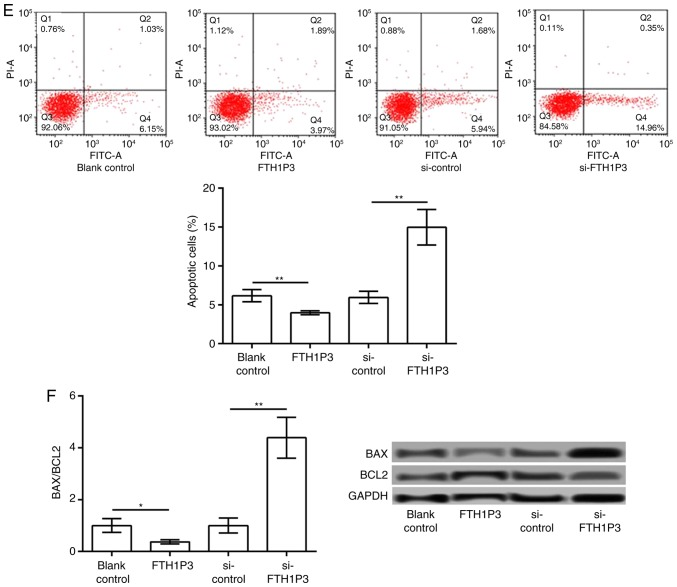 LncRNA FTH1P3 is upregulated in glioma tissues, and its upregulation promotes glioma cell proliferation and inhibits apoptosis. (A) The expression of lncRNA FTH1P3 in low- and high-grade glioma tissues and adjacent normal tissues. (B) Expression of lncRNA FTH1P3 in glioma U251 cells transfected with pc-FTH1P3, si-FTH1P3 and the corresponding controls. (C) The cell viability of each group after 24, 48 h and 72 h was determined with an MTT assay. (D) A BrdU incorporation assay was performed to determine cell proliferation (magnification, ×400). (E) The percentage of apoptotic cells in each group was determined by flow cytometry. (F) Western blot analysis of BAX/BCL2 expression. *P