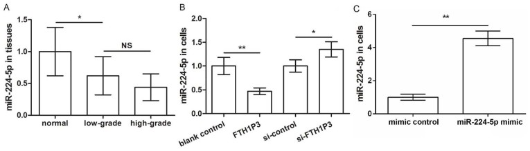 lncRNA FTH1P3 inhibits miR-224-5p expression. (A) miR-224-5p expression in low- and high-grade glioma tissues in addition to adjacent normal tissues. (B) miR-224-5p expression in glioma U251 cells transfected with pc-FTH1P3, si-FTH1P3 and the corresponding controls. (C) The expression of miR-224-5p in glioma U251 cells transfected with miR-224-5p mimic and the corresponding control. *P