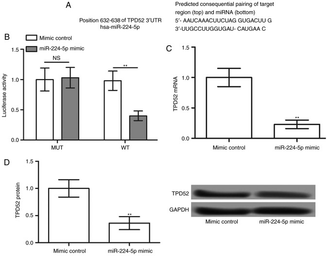 TPD52 is a target of miR-224-5p. (A) TargetScanHuman was used to predict the binding sequence between TPD52 and miR-224-5p. (B) Luciferase activity of TPD52 3′-UTR-WT and TPD52 3′-UTR-MUT in the presence of miR-224-5p mimic or mimic control. (C) mRNA and (D) protein expression of TPD52 in U251 cells transfected with miR-224-5p mimic or mimic control. **P