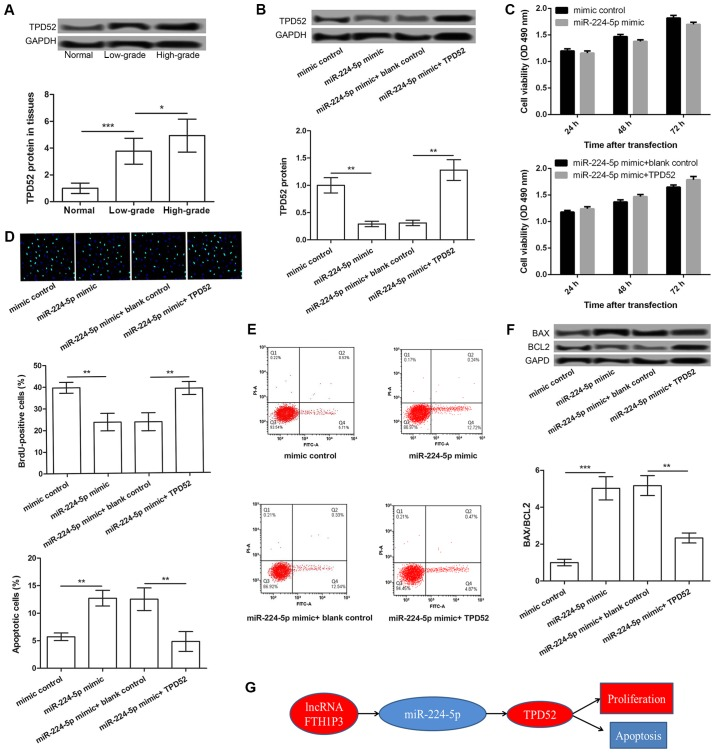 The miR-224-5p/TPD52 axis may be a functional mechanism of FTH1P3 in glioma. (A) TPD52 expression in low- and high-grade glioma tissues and adjacent normal tissues. (B) The expression of TPD52 in glioma U251 cells treated with mimic control, miR-224-5p mimic, miR-224-5p mimic + blank control, miR-224-5p mimic + pc-TPD52. (C) The cell viability of each group after 24, 48 and 72 h was determined by MTT assay. (D) A BrdU incorporation assay showed BrdU-positive cells in different transfected groups (magnification, ×400). (E) The percentage of apoptotic cells in each group was detected by flow cytometry. (F) Western blot analysis showed the expression levels of BAX/BCL2 in different transfected groups. (G) Schematic representation of the potential mechanism of action of lncRNA FTH1P23 in glioma. *P