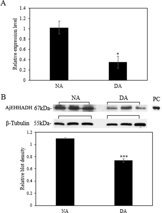"""Effect of estivation on the relative expression levels of <t>AjEHHADH</t> . (A) Relative mRNA expression levels of AjEHHADH in the intestine of NA and DA groups respectively. Values were normalized against β -Tubulin. """"*"""" indicates significant statistical differences ( P"""