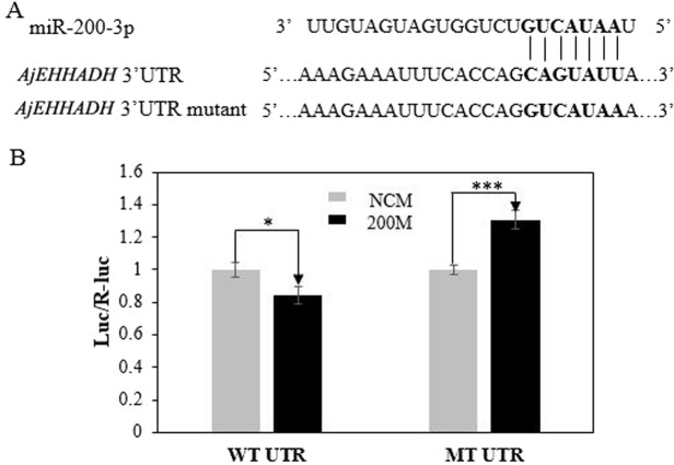 """Identification and characterization of the miRNA-200-3p binding sites in the 3′ UTR of AjEHHADH and functional effect of miR-200-3p on AjEHHADH . (A) Schematic representation of the putative miRNA-200-3p targeting sites in AjEHHADH mRNA and the respective mutant sites. (B) HEK-293T cells were co-transfected with the pMIRREPORT-BHMT-WT vector, carrying the wild-type and the mutated AjEHHADH 3′-UTR, pRLCMV-Renilla-luciferase, and control miR-200-3p mimics as indicated. """"*""""indicates significant differences ( P"""