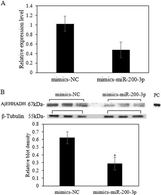 """Functional analysis of miR-200-3p and AjEHHADH in vivo . (A) Relative AjEHHADH mRNA transcripts expression after transfection with miRNA modified mimics. (B) Western blot analysis after transfection with miRNA modified mimics. """"*"""" indicates significant differences ( P"""