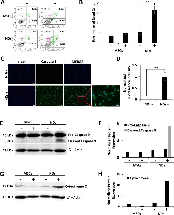 Effect of JQ1 on the expression of Caspase 9 and Cytochrome C MSCs and NDs untreated (−) and treated (+) with JQ1 for 48 hours and subjected to analysis. ( A ) Representative flow cytomeric plots of cells stained with Annexin-V/FITC and PI. ( B ) Graphical representation of the average percentage of dead cells as determined by flow cytometry, error bars represent SEM of three independent experiments ( n = 3). ( C ) Immunocytochemical analysis of Caspase 9 showing protein expression in NDs treated with JQ1. Scale bars represent 50 μm (Magnification: 10X) and 20 μm in high magnification merged insert (Magnification: 40X), respectively. ( D ) Quantification of normalized fluorescent intensity of Caspase 9 expression in NDs using ImageJ software. * p