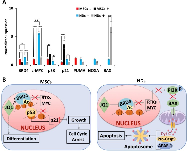 Proposed mechanism of action of JQ1 (A ) Transcriptional analysis of BRD4 , c - MYC , p53 , p21 , PUMA , NOXA , and BAX in MSCs and NDs untreated (−) and treated (+) with JQ1 as determined by qRT-PCR. Experiments were performed in triplicate and error bars represent SEM of three independent experiments ( n = 3). * p