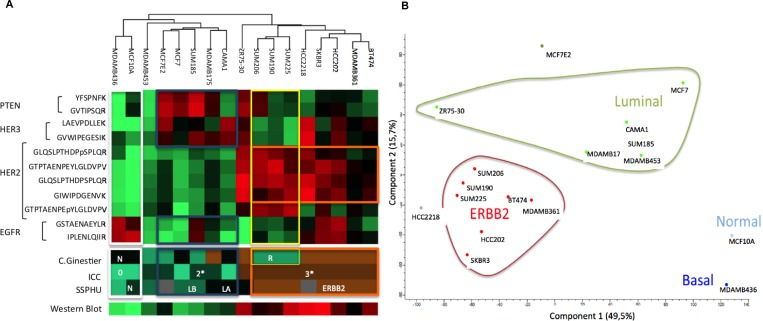 Protein expression of breast cell lines for EGFR, HER2, HER3 and PTEN and the corresponding proteomic classifications of Ginestier, ICC, HER2 expression obtained using western blot and transcriptomic classification SSPHU HeatMap ( A ) and graphic representations of Principal Component analysis ( B ).