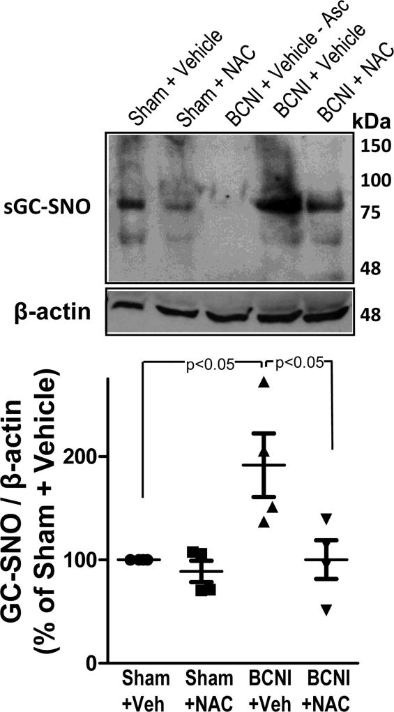 S-nitrosylation of sGC is increased in the penis after cavernous nerve injury, which is prevented by treatment with a denitrosylating agent NAC. sGC S-nitrosylation was measured by TMT-switch assay consisting of immunoprecipitation of TMT-tagged proteins with anti-sGC antibody, followed by Western blot against TMT. Upper panels are representative Western immunoblots of sGC-SNO and β-actin in penes of Sham+Vehicle, Sham+NAC, BCNI+Vehicle, and BCNI+NAC rats (lanes 1, 2, 4, 5). Lower panel represents quantitative analysis of sGC-SNO/β-actin in the same treatment groups. No S-nitrosylation of sGC could be detected in penile tissue of BCNI+Vehicle rats in the absence of ascorbate (lane 3). n=4.