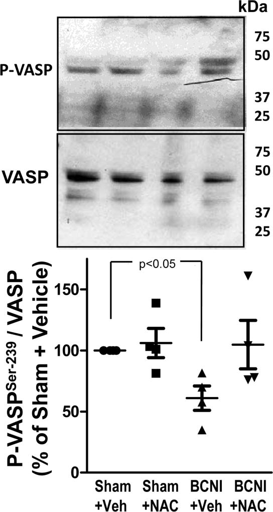 Protein expression of P-VASP (Ser-239) is decreased in the penis after cavernous nerve injury, and is increased by treatment with a denitrosylating agent NAC. Upper panels are representative Western immunoblots of P-VASP (Ser-239)/VASP in penes of Sham+Vehicle, Sham+NAC, BCNI+Vehicle, and BCNI+NAC rats. Lower panel represents quantitative analysis of P-VASP/VASP in the same treatment groups. n=4.